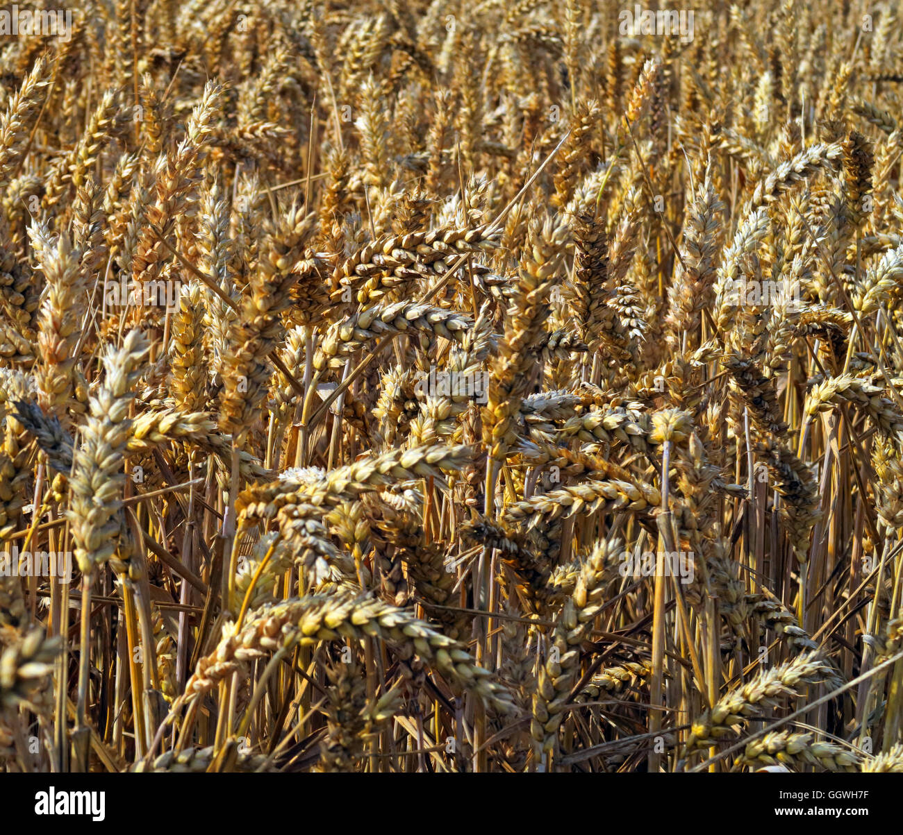 Close-up of a Field of barley, ready for harvest, Preston on the Hill, Halton, Cheshire, North West England - Stock Image