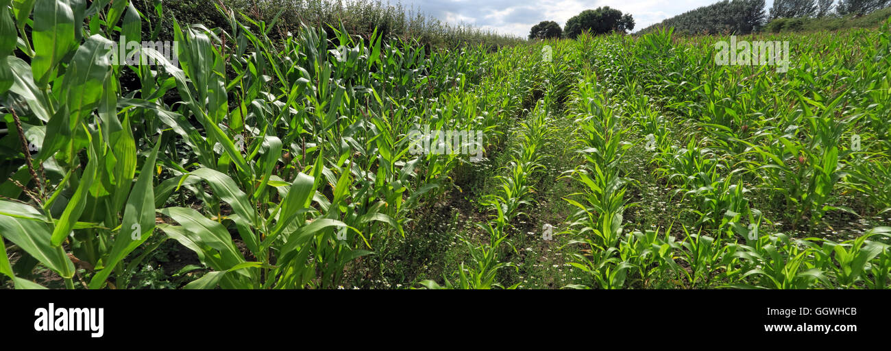 Fields of maize sweetcorn, growing in Hatton, Warrington, Cheshire, North West England, UK - Stock Image