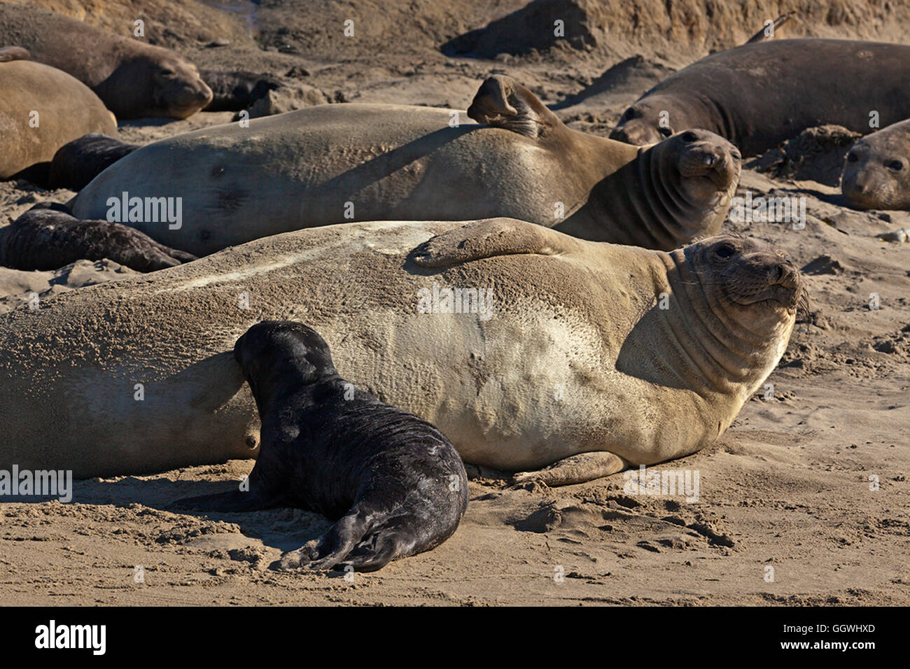 A female ELEPHANT SEAL (Mirounga angustirostris) with her nursing pup on the beach at ANO NUEVO STATE PARK - CALIFORNIA - Stock Image