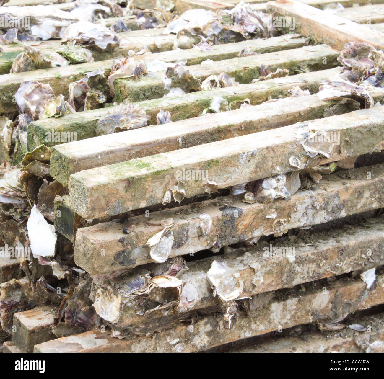Oyster Stakes For Spat Collection Stacked For Storage