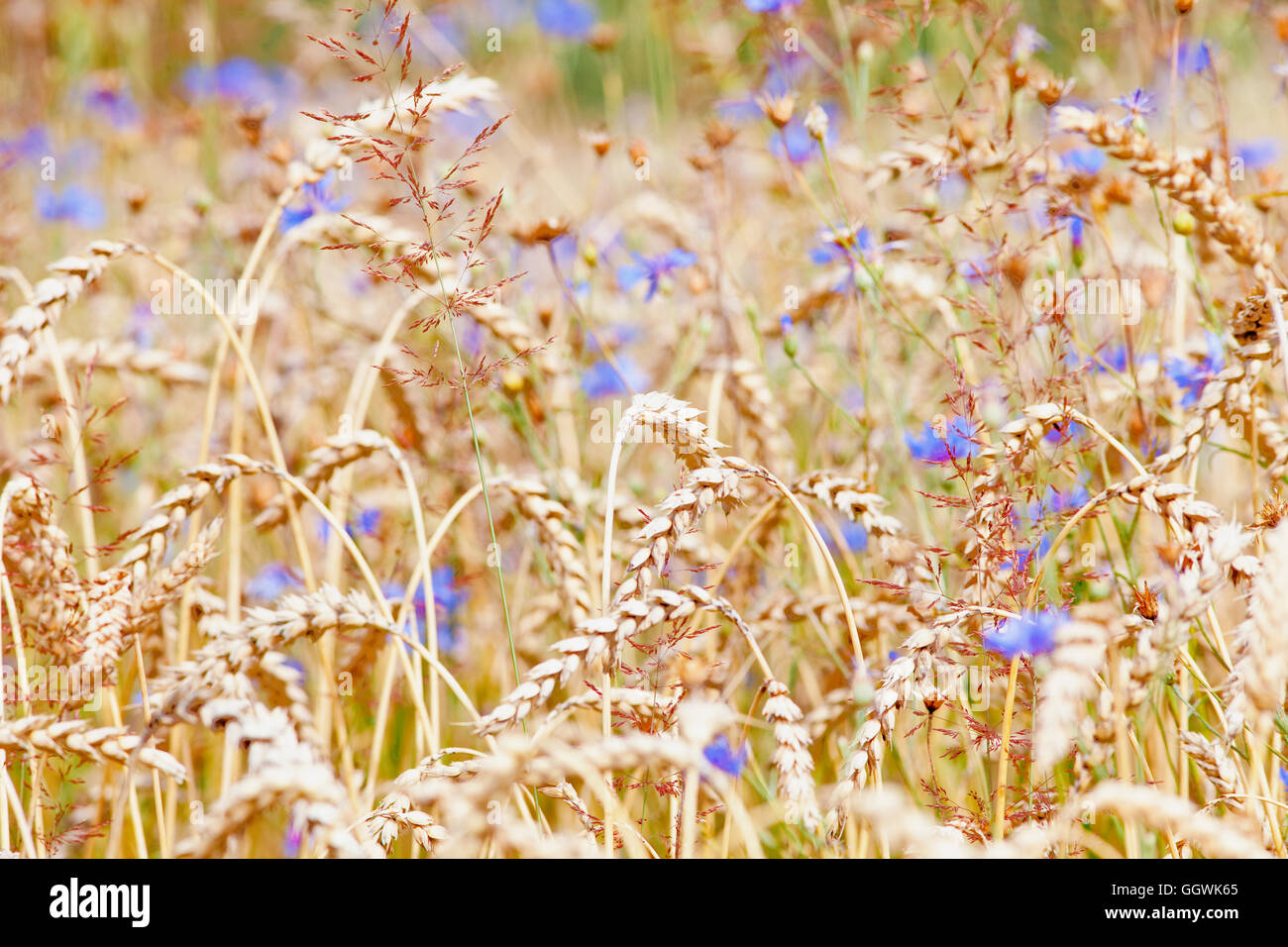 Field of Wheat and Cornflowers in Summer Stock Photo
