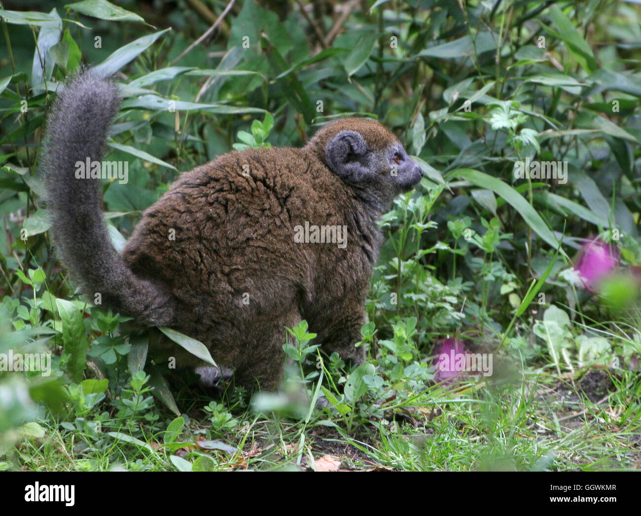 Female Madagascar Lac Alaotra bamboo lemur (Hapalemur alaotrensis), walking on  the ground. A.k.a.  Alaotran gentle - Stock Image