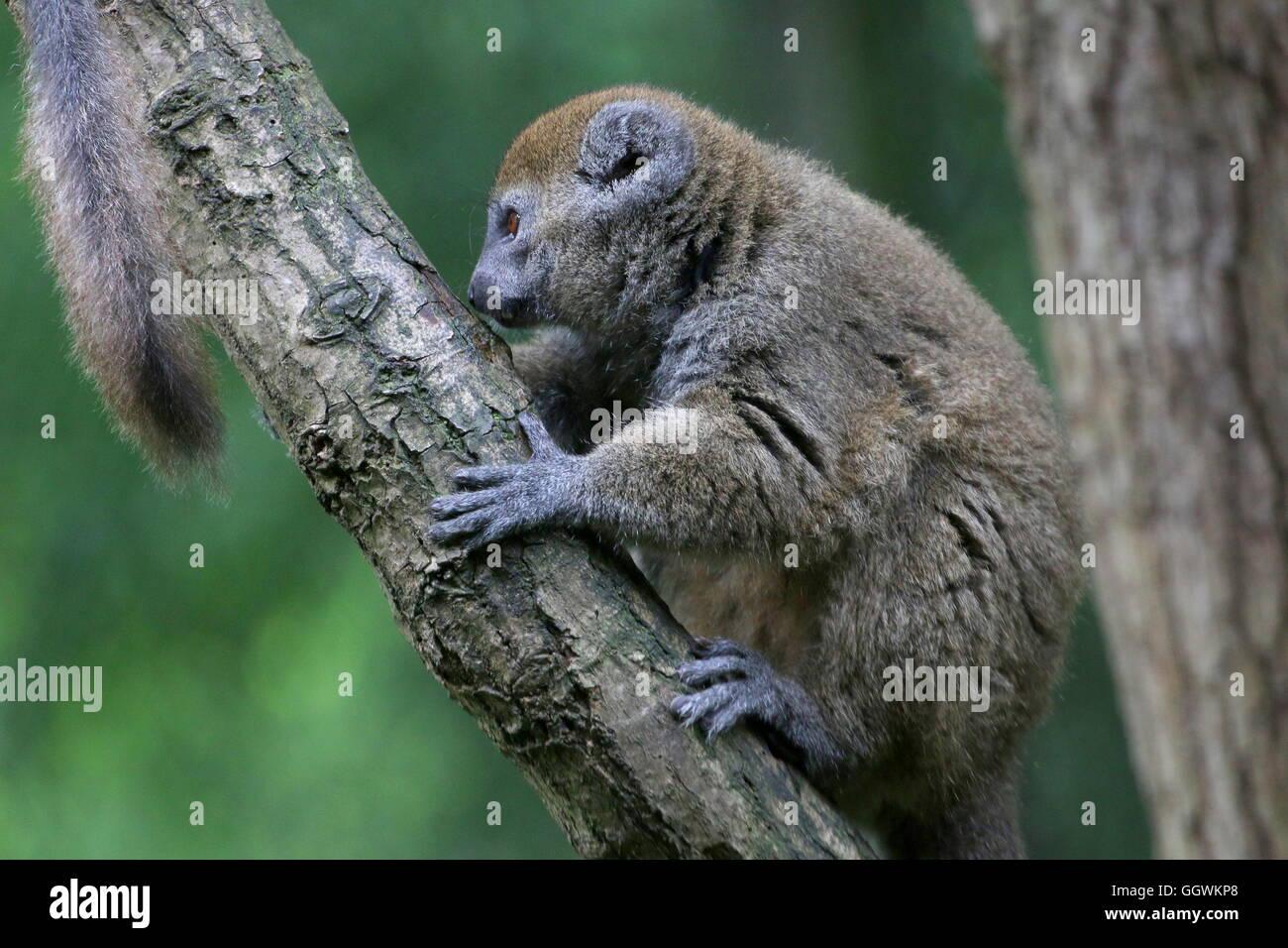 Madagascar Lac Alaotra bamboo lemur (Hapalemur alaotrensis), a.k.a.  Alaotran gentle lemur. - Stock Image