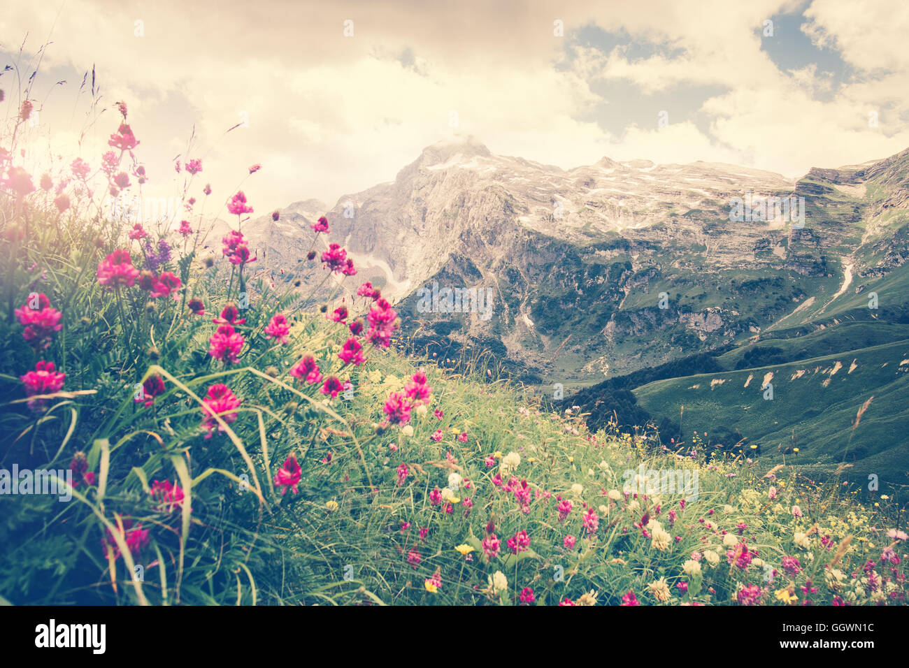 Rocky Fisht Mountains and green alpine valley with blooming pink flowers Landscape Summer Travel scenic view - Stock Image