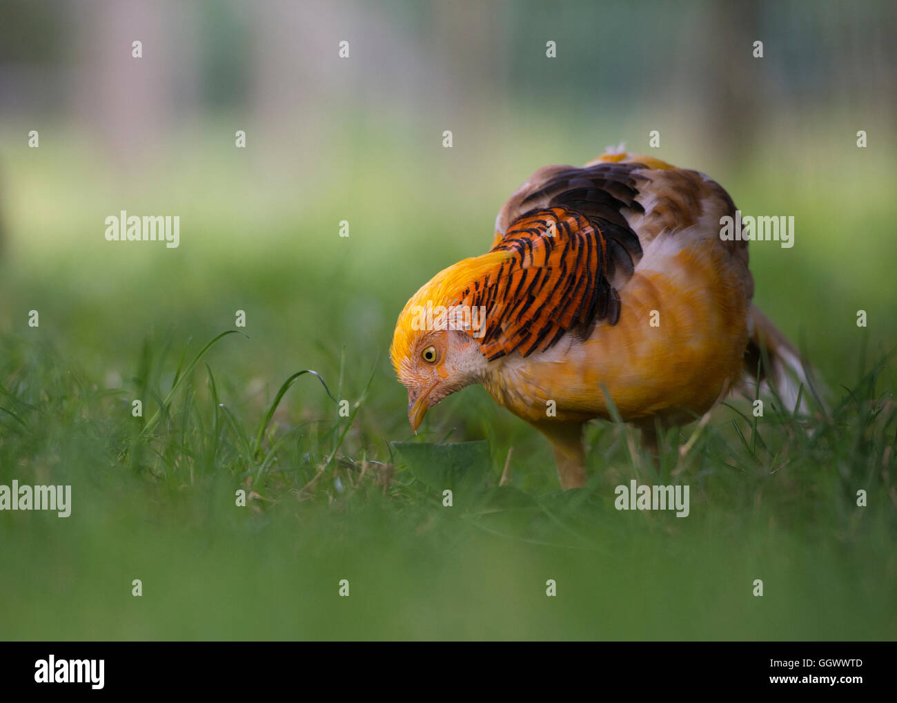 Close up of a male yellow golden pheasant (Chrysolophus Pictus Mut Luteus) on green grass with low depth of field - Stock Image