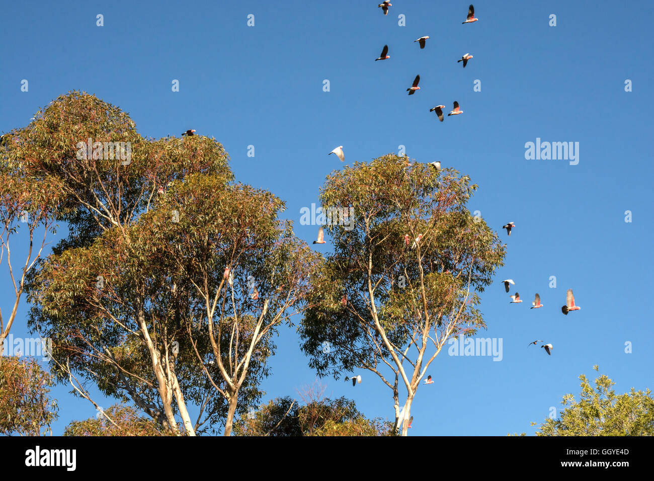 Galahs flying in and out of a gum tree in the late afternoon. Cacatua roseicapilla. - Stock Image