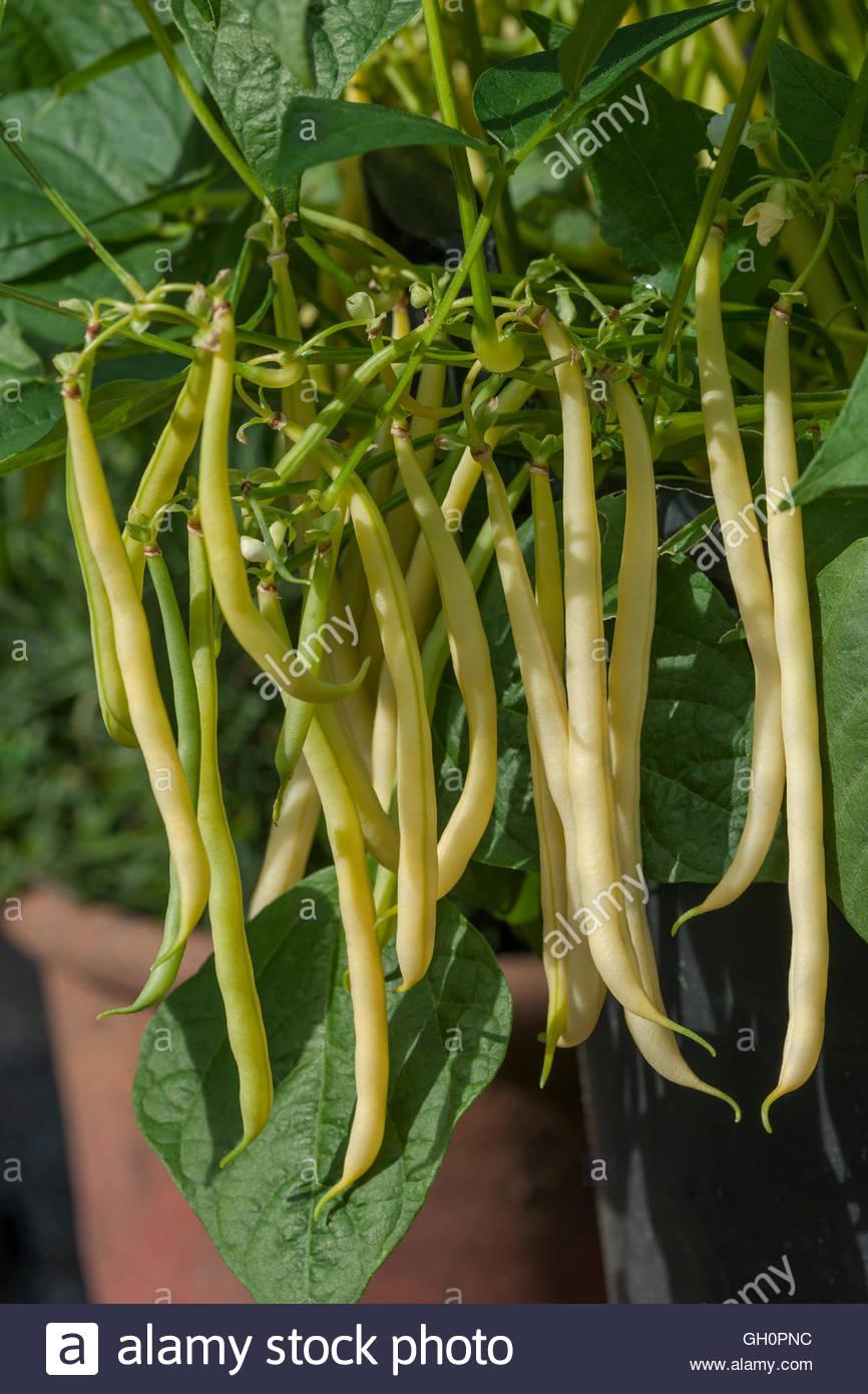 Dwarf Bean 'Sonesta' - Stock Image