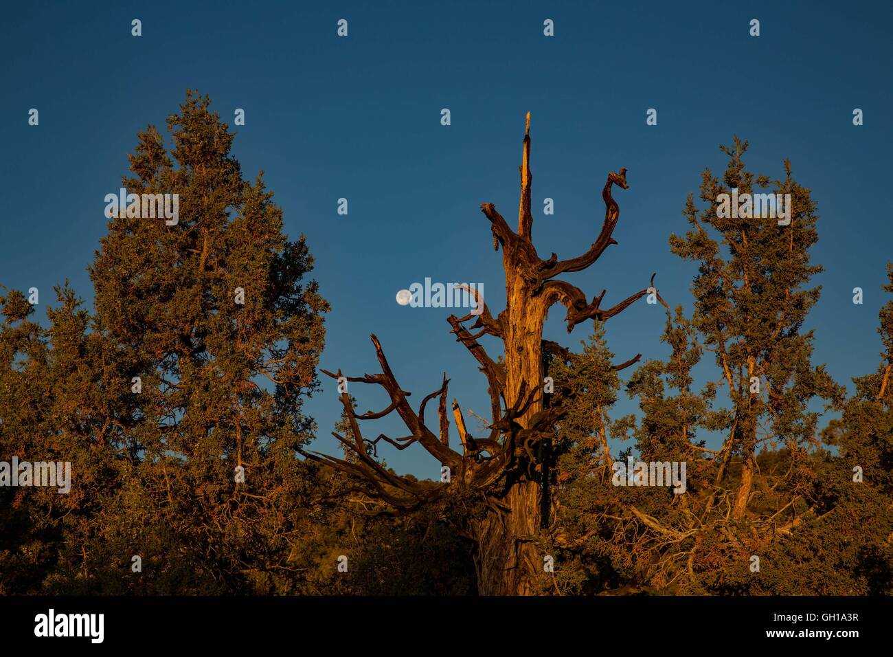 Jun 14, 2014 - White Mountains, California, U.S. - The moonsets as the sun rises over the Bristlecone Pine Forest. Stock Photo