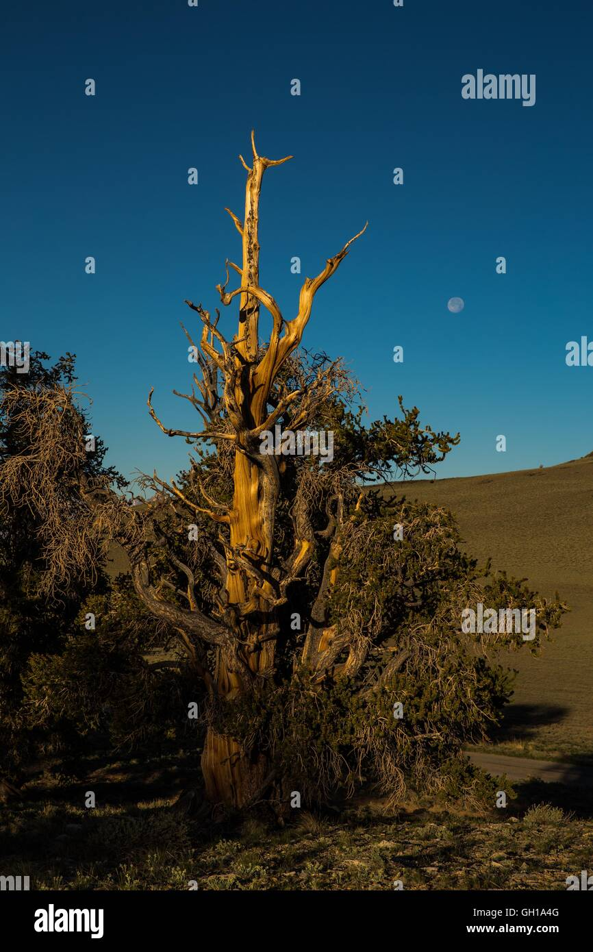 Jun 14, 2014 - White Mountains, California, U.S. - The moonsets as the sun rises over the Bristlecone Pine Forest. - Stock Image