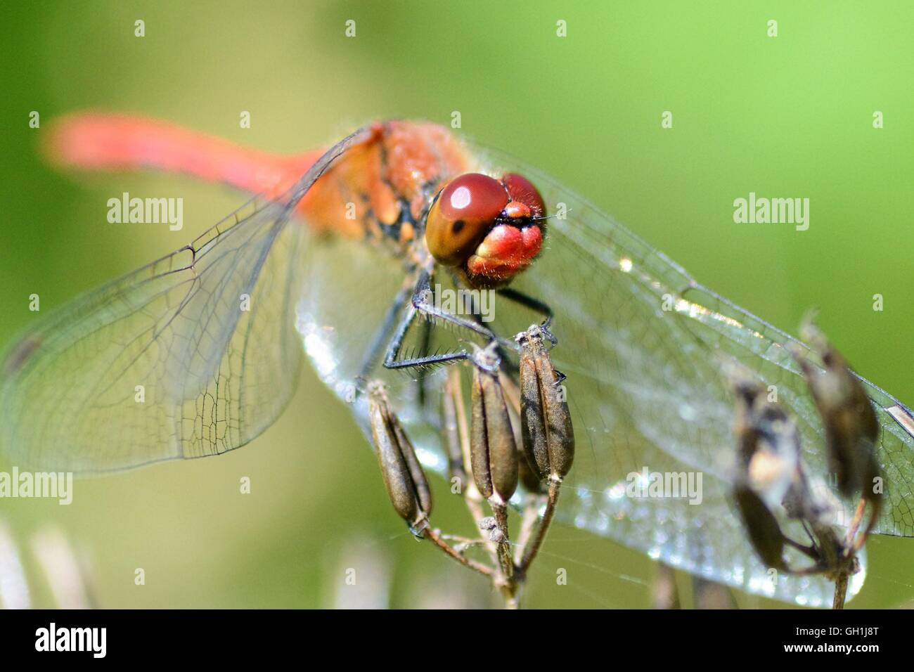 Red dragonfly pauses on a flower Stock Photo