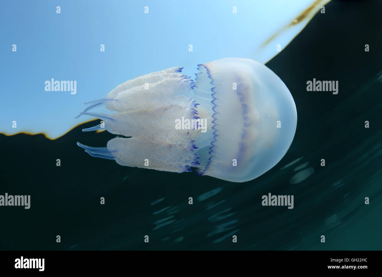 Barrel jellyfish, dustbin-lid jellyfish or frilly-mouthed jellyfish (Rhizostoma pulmo) swims beneath the surface Stock Photo