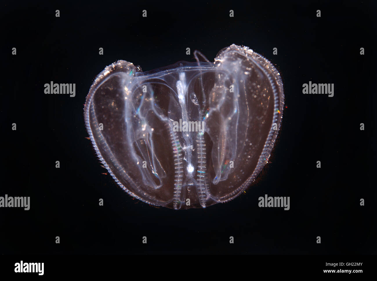 Sea Walnut, American comb jelly, Warty comb jelly or Leidy's comb jelly (Mnemiopsis leidyi) Black Sea - Stock Image