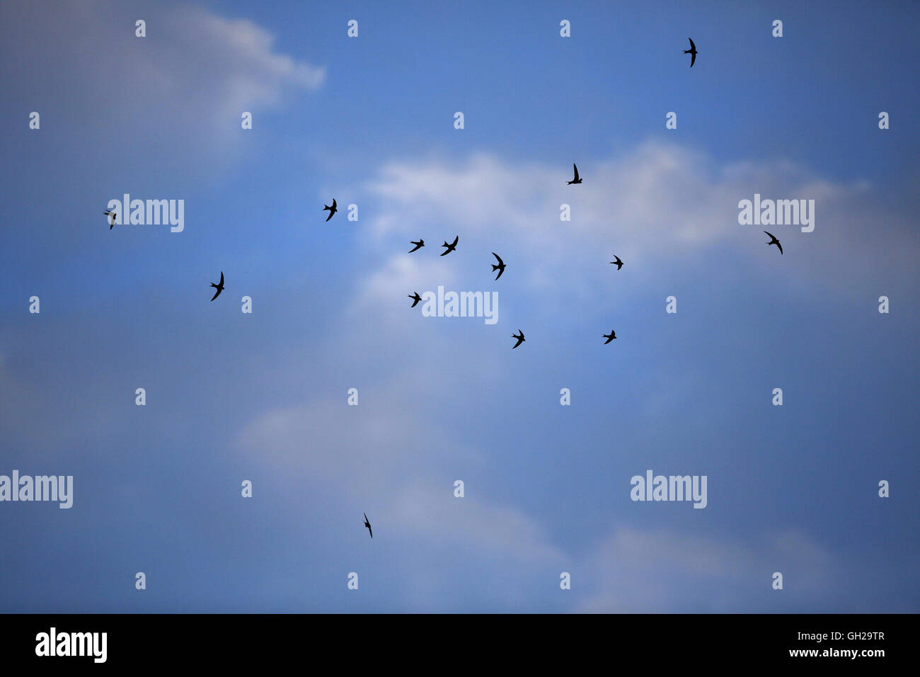 Common Swifts, Apus apus, flying and screaming before southbound migration - Stock Image