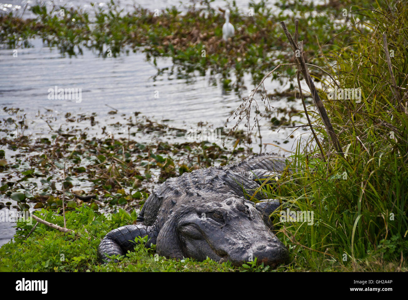 American Alligator sitting along the shoreline of a swamp in Gainesville Florida Stock Photo