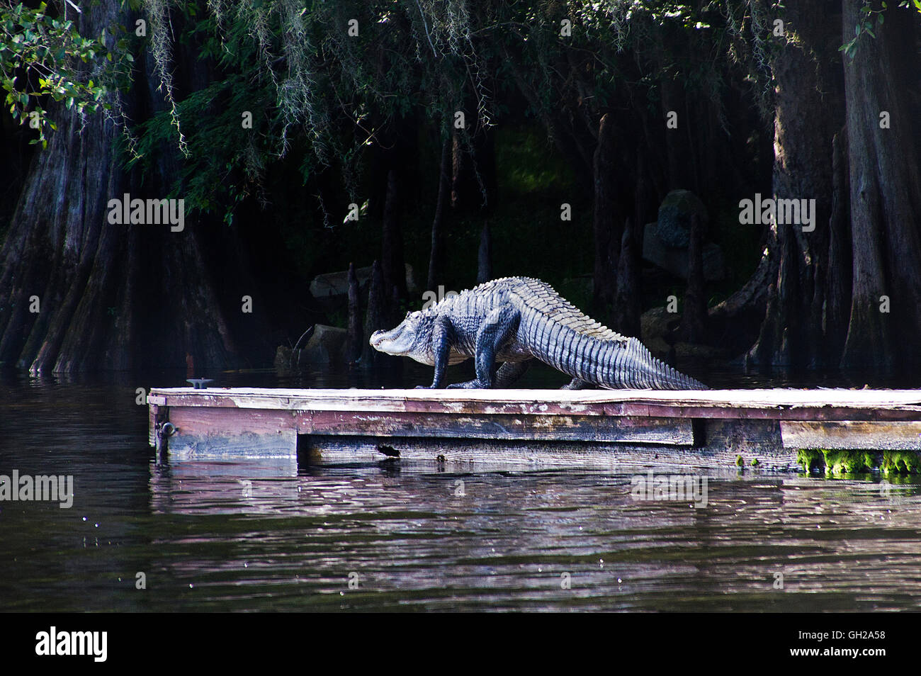 Giant American Alligator walking off a floating dock along the Suwanee River in Central Florida - Stock Image