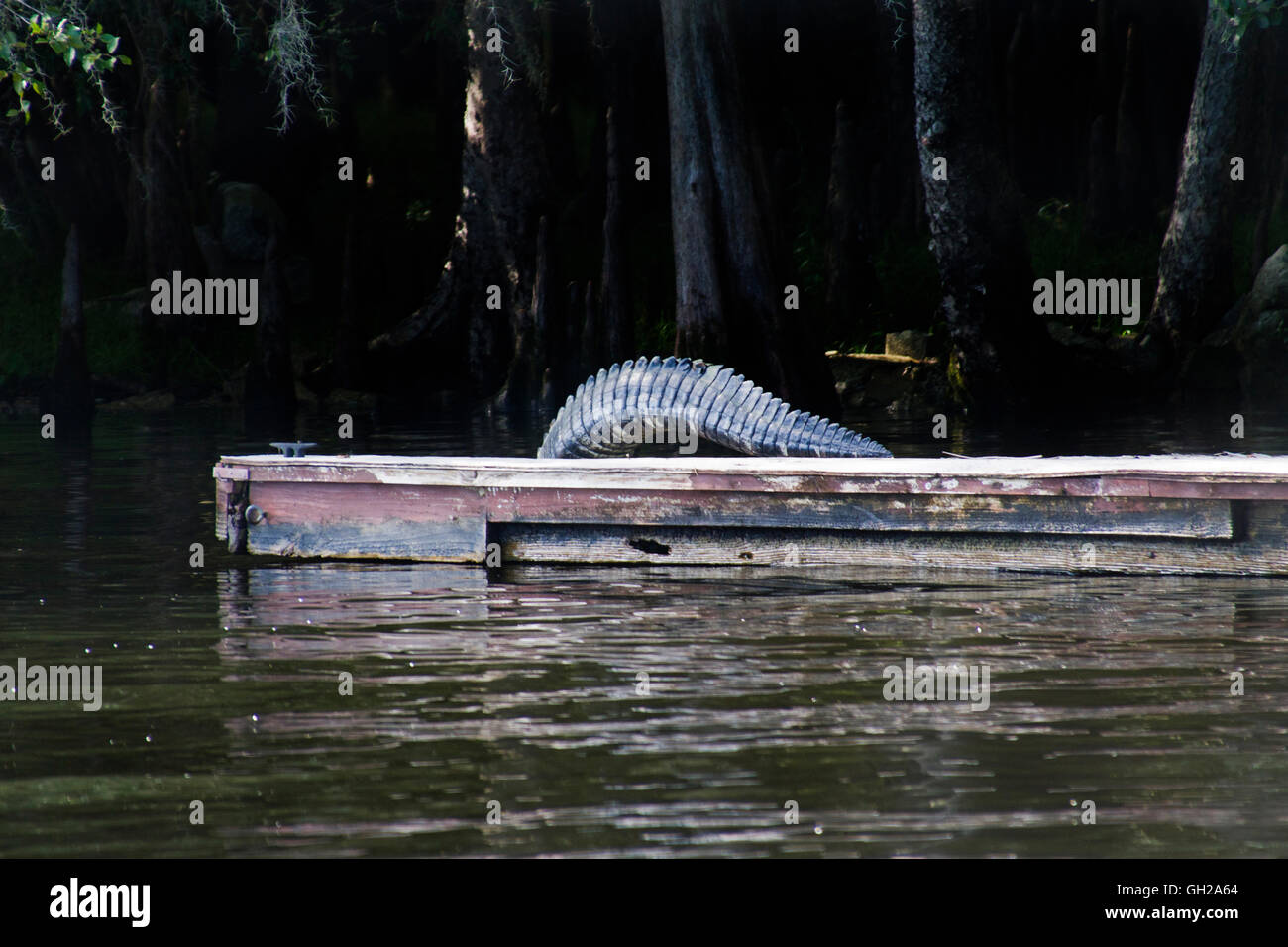 Giant Alligator tail walking off a floating dock along the Suwanee River in Central Florida - Stock Image