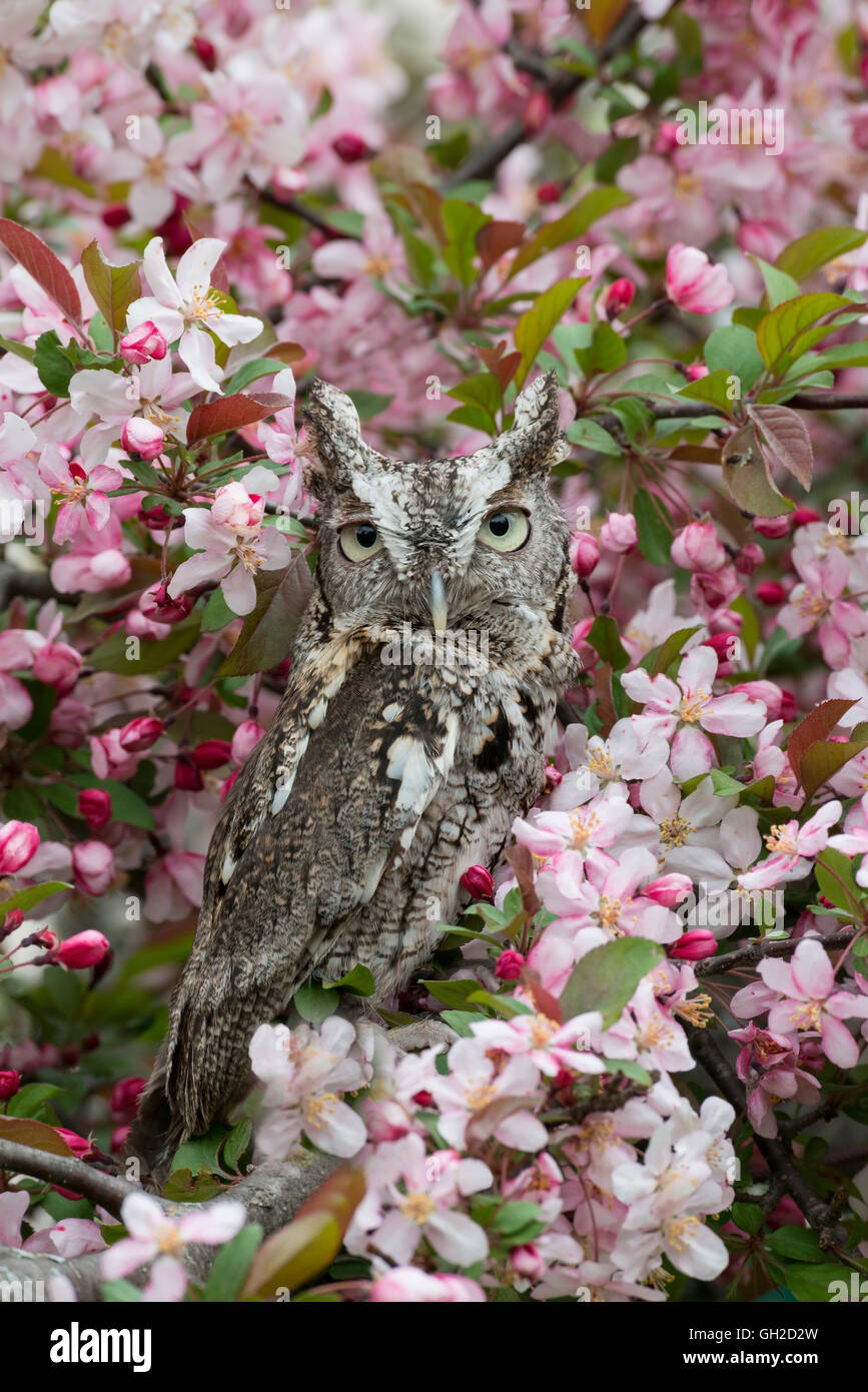 Eastern or Common Screech Owl Otus asio, gray phase, sitting in flowering Apple tree, Eastern USA - Stock Image