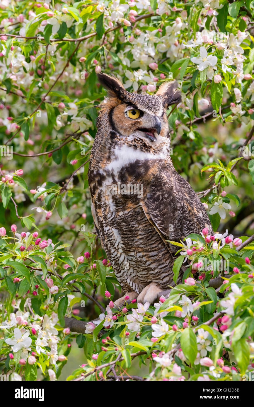 Great Horned Owl ( Bubo virginianus ) sitting in blooming Apple Tree (Malus domestica), North America - Stock Image