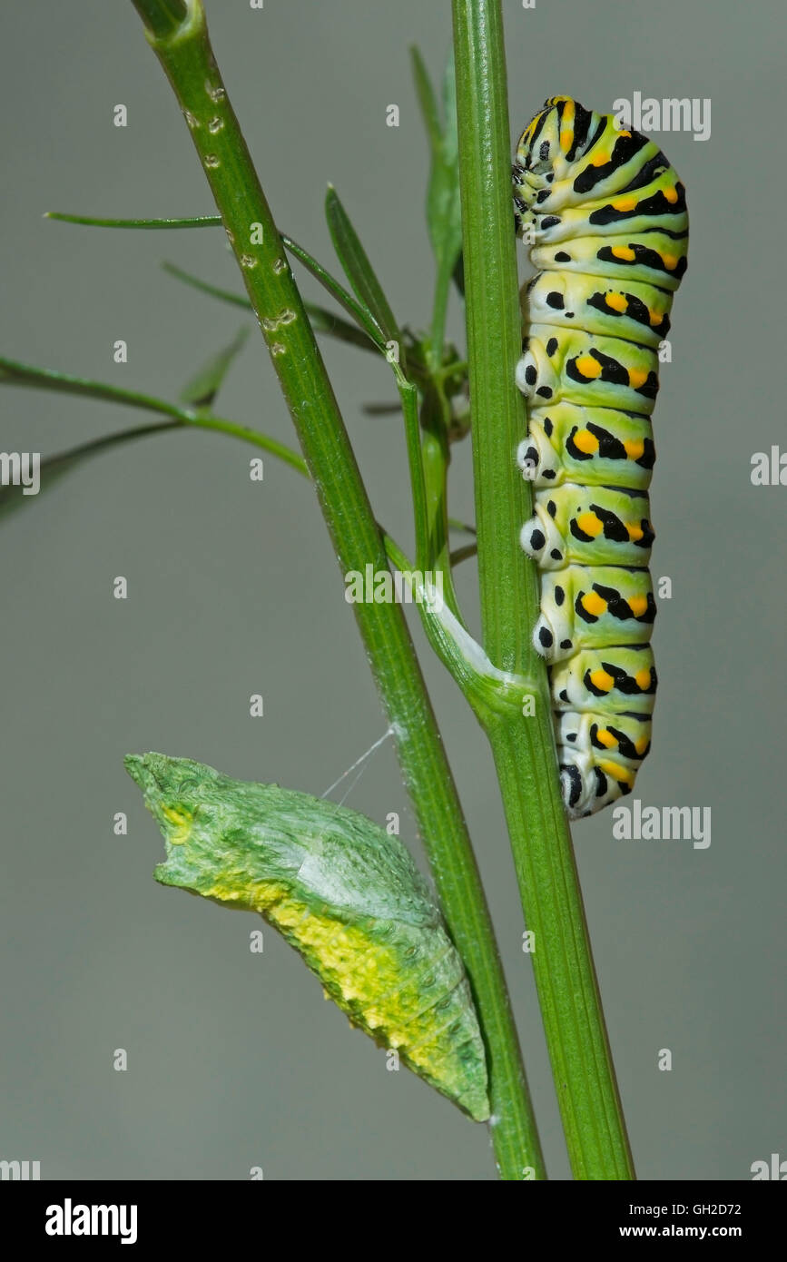 E Black Swallowtail Butterfly (Papilio polyxenes) Caterpillar and early Pupa (Chrysalis) stages, Eastern North America - Stock Image