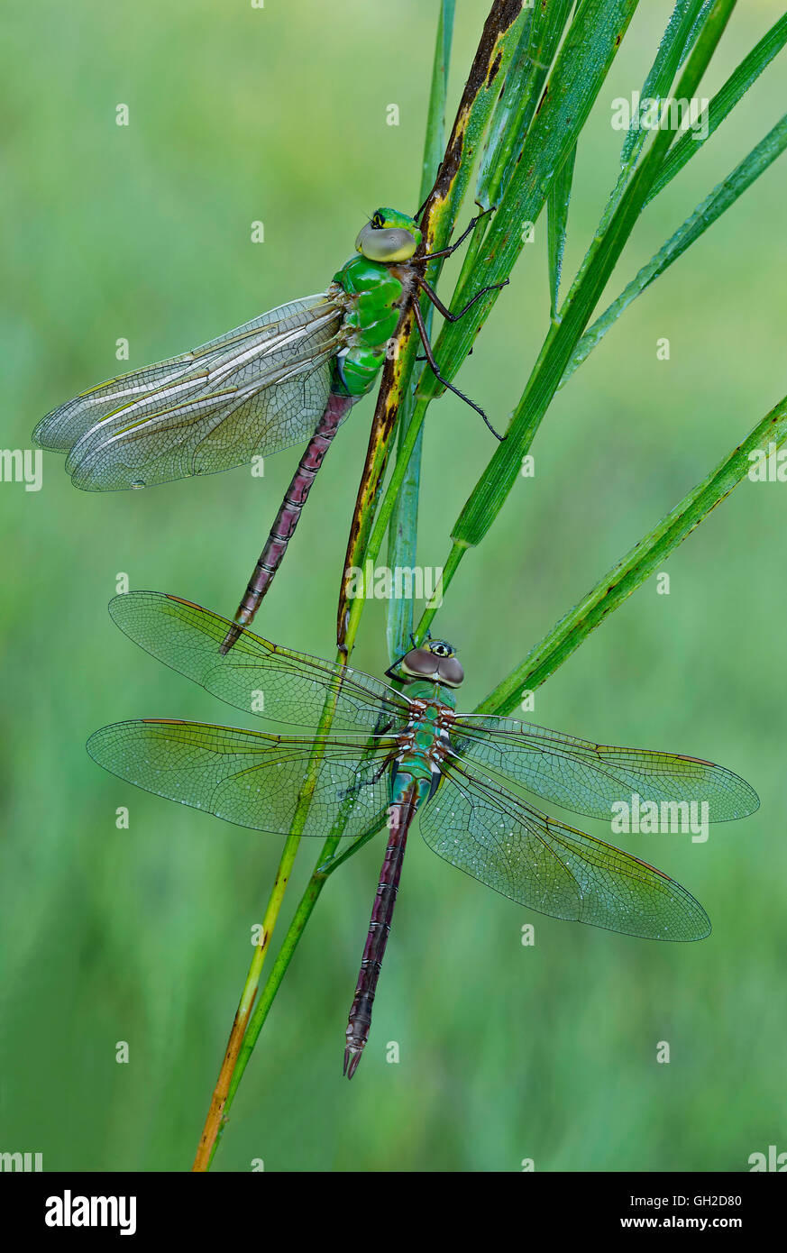 Pair of Common Adult Green Darner Dragonflies (Anax junius) resting on blades of grass,  Eastern USA - Stock Image