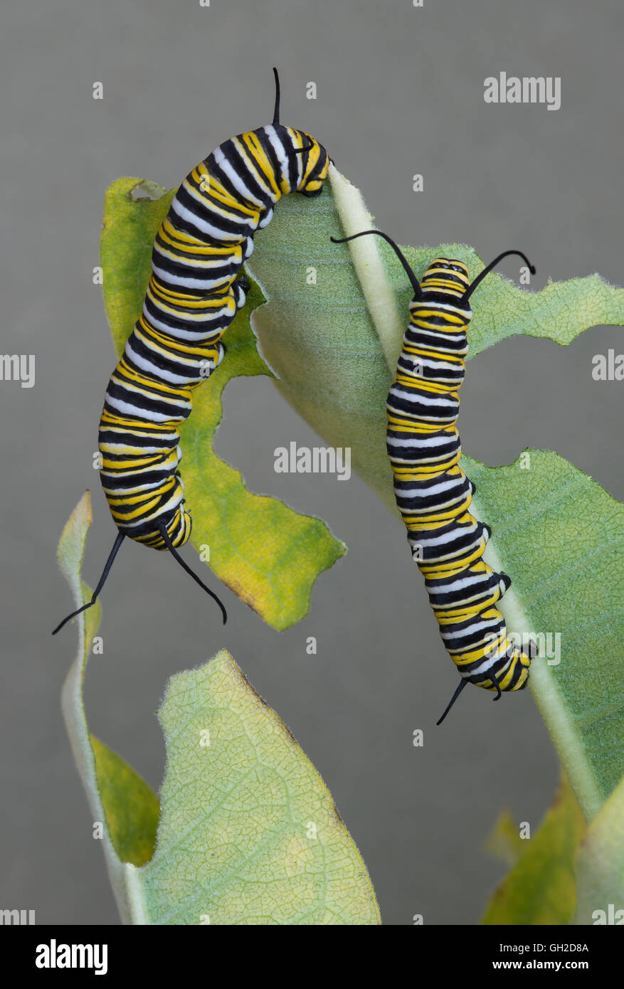 Monarch Butterfly caterpillars Danaus plexippus feeding on Common Milkweed Asclepias syriaca E USA - Stock Image