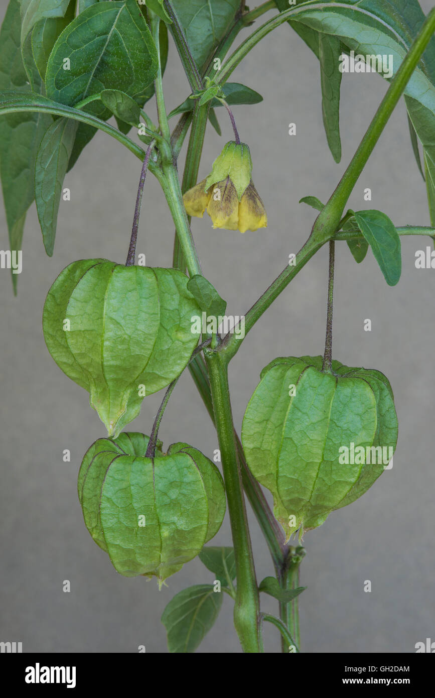 Virginia Ground Cherry flowers and developing seed pods ( Physalis virginiana) Eastern USA - Stock Image