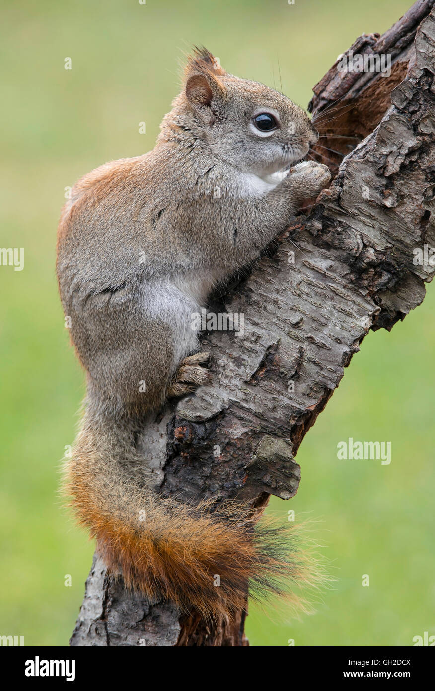 Eastern Red Squirrel eating acorn (Tamiasciurus or Sciurus hudsonicus), early Spring, E North America - Stock Image