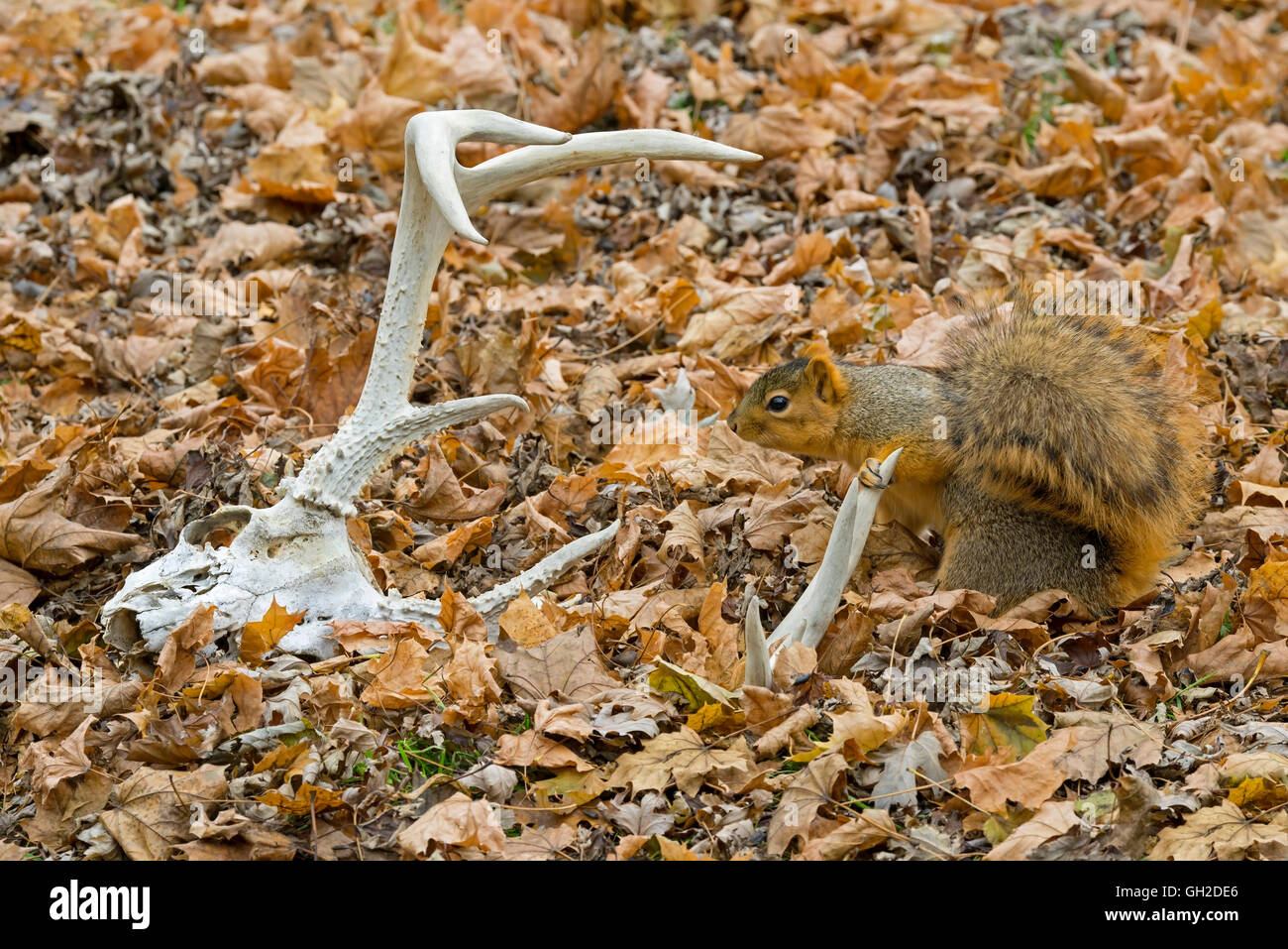 Eastern Fox Squirrel (Sciurus niger) on forest floor, and White-tailed Deer antlers, Autumn, E North America - Stock Image