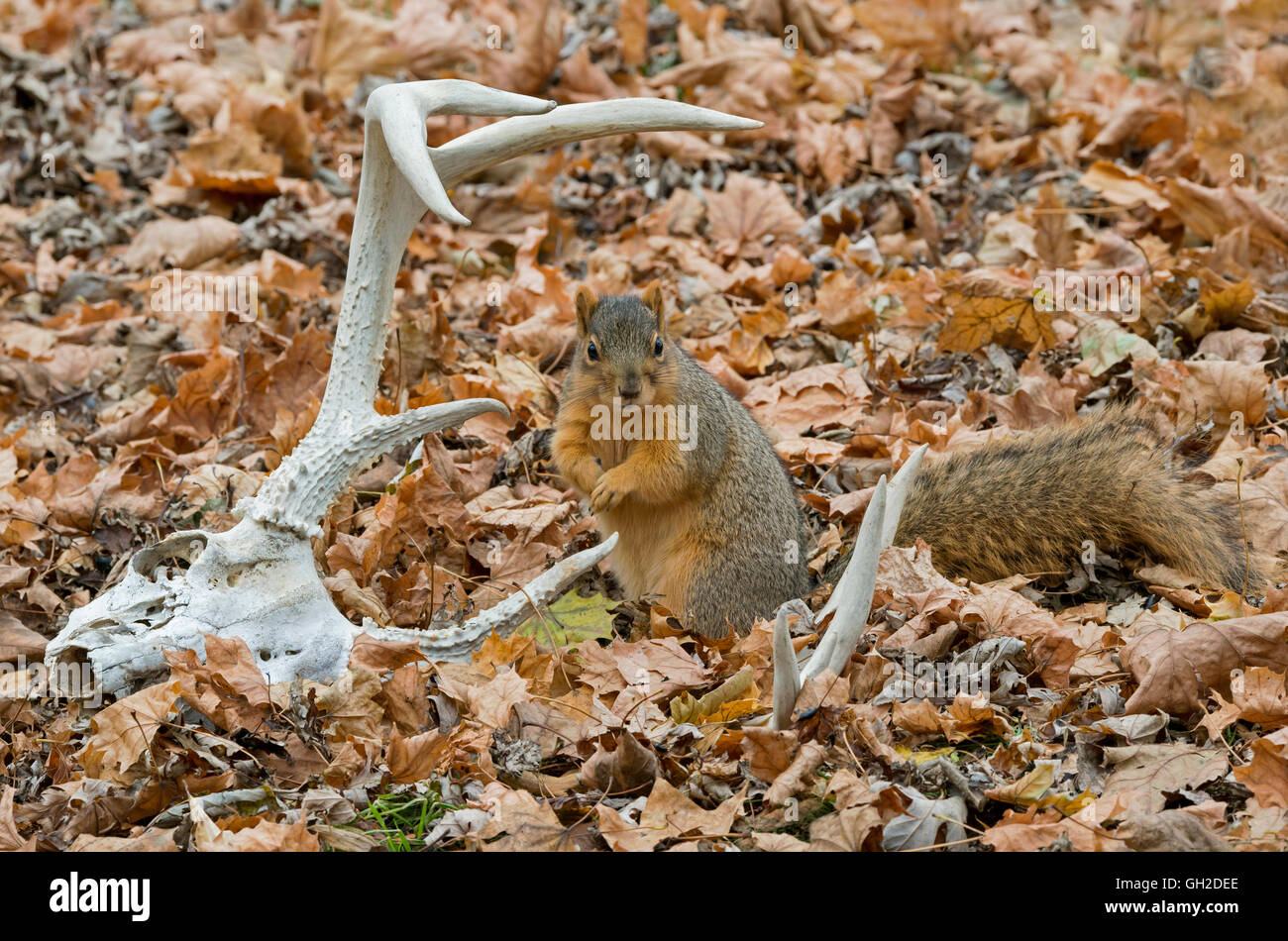 Eastern Fox Squirrel (Sciurus niger) on forest floor, and White-tailed Deer antlers and skull, Autumn, E North America - Stock Image