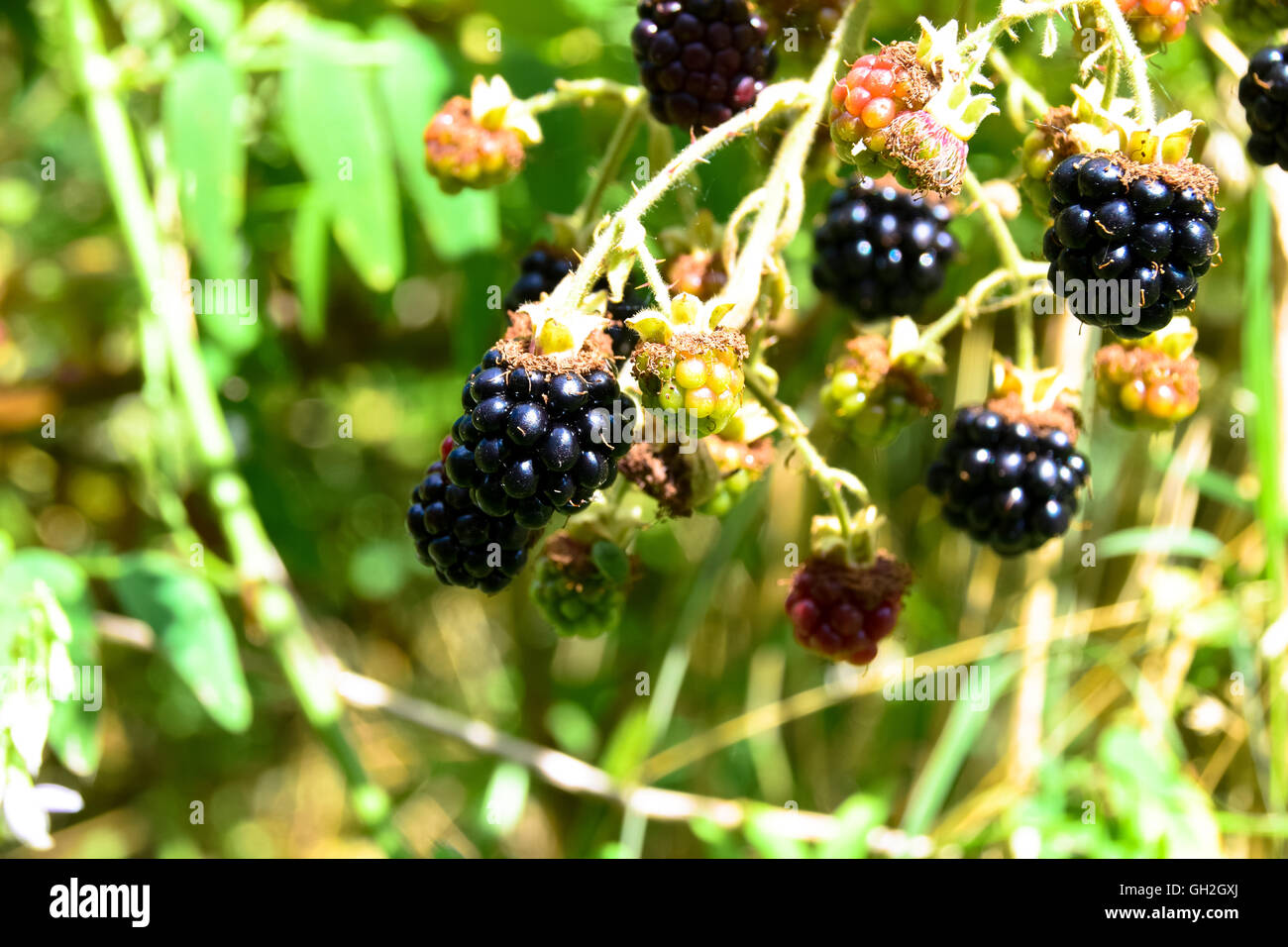 Contrasting colours of wild ripening blackberries Stock Photo