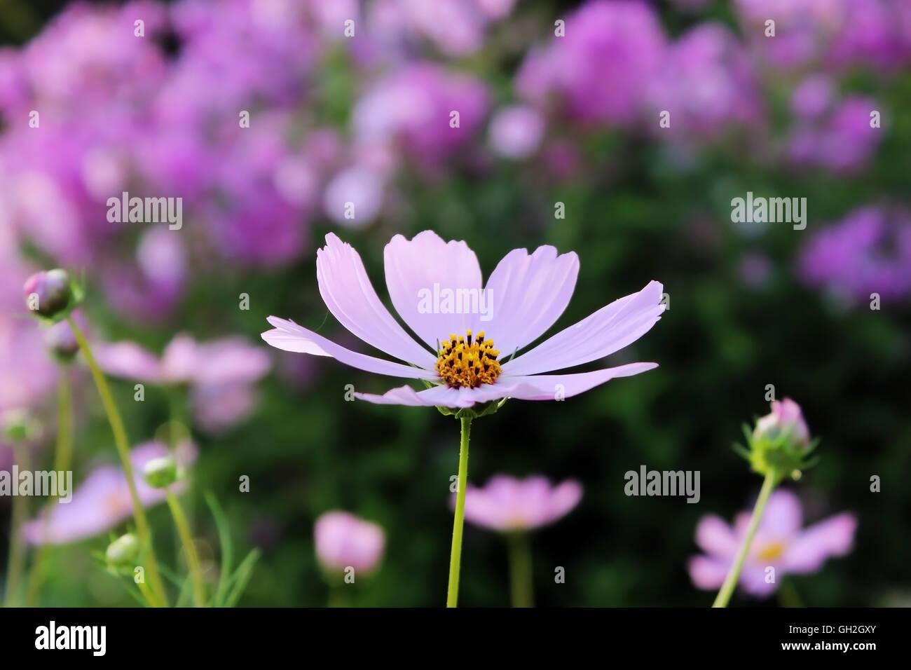 Flower like a daisy gallery flower wallpaper hd pink daisy like flower stock photos pink daisy like flower stock pink purple flower like a izmirmasajfo