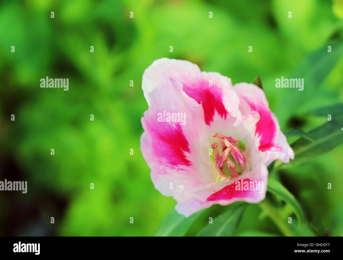 Pink And White Godetia Flower Or Farewell To Spring Its Scientific