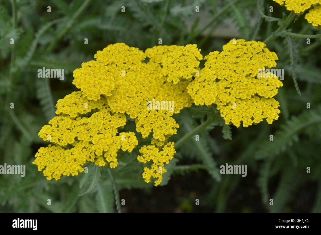 Yellow, moonshine yarrow flower - Stock Image