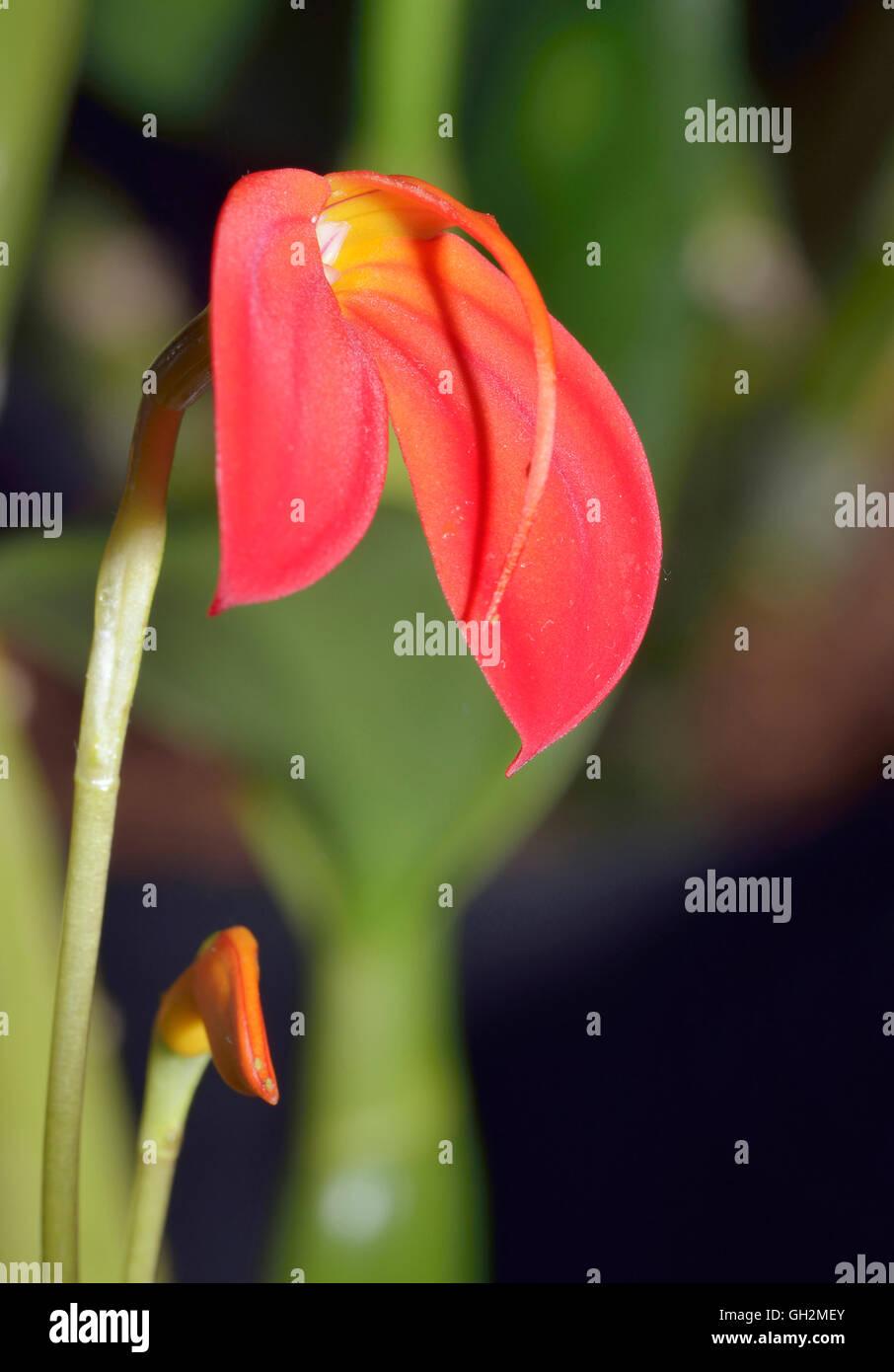 Fire-Red Masdevallia Orchid - Masdevallia ignea From Colombia Stock Photo