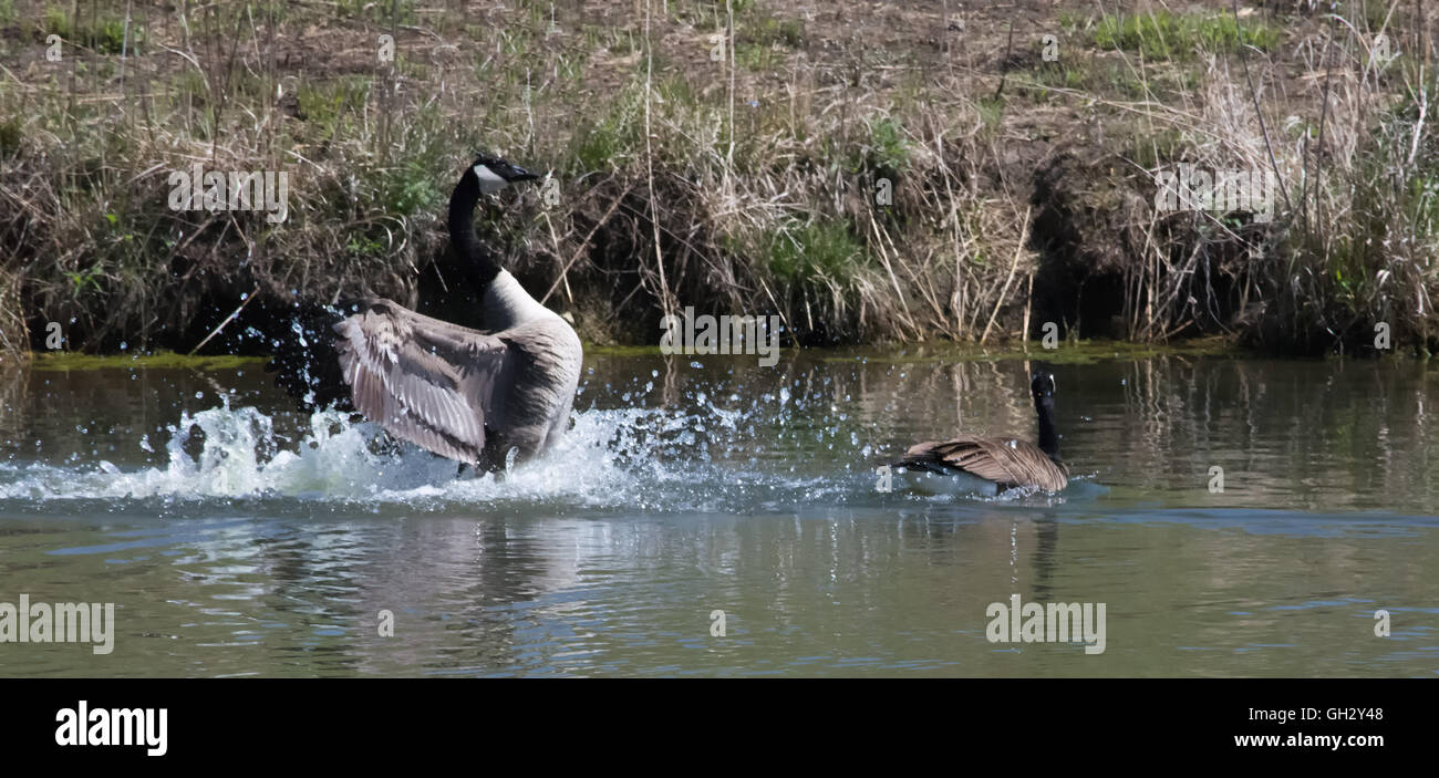 A Canada Goose flares it wings while landing on a small pond. - Stock Image
