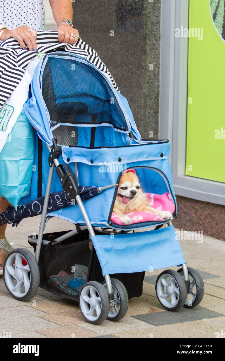 Chihuahua dressed in pink being wheeled in a stroller, Blackpool, Lancashire, UK - Stock Image