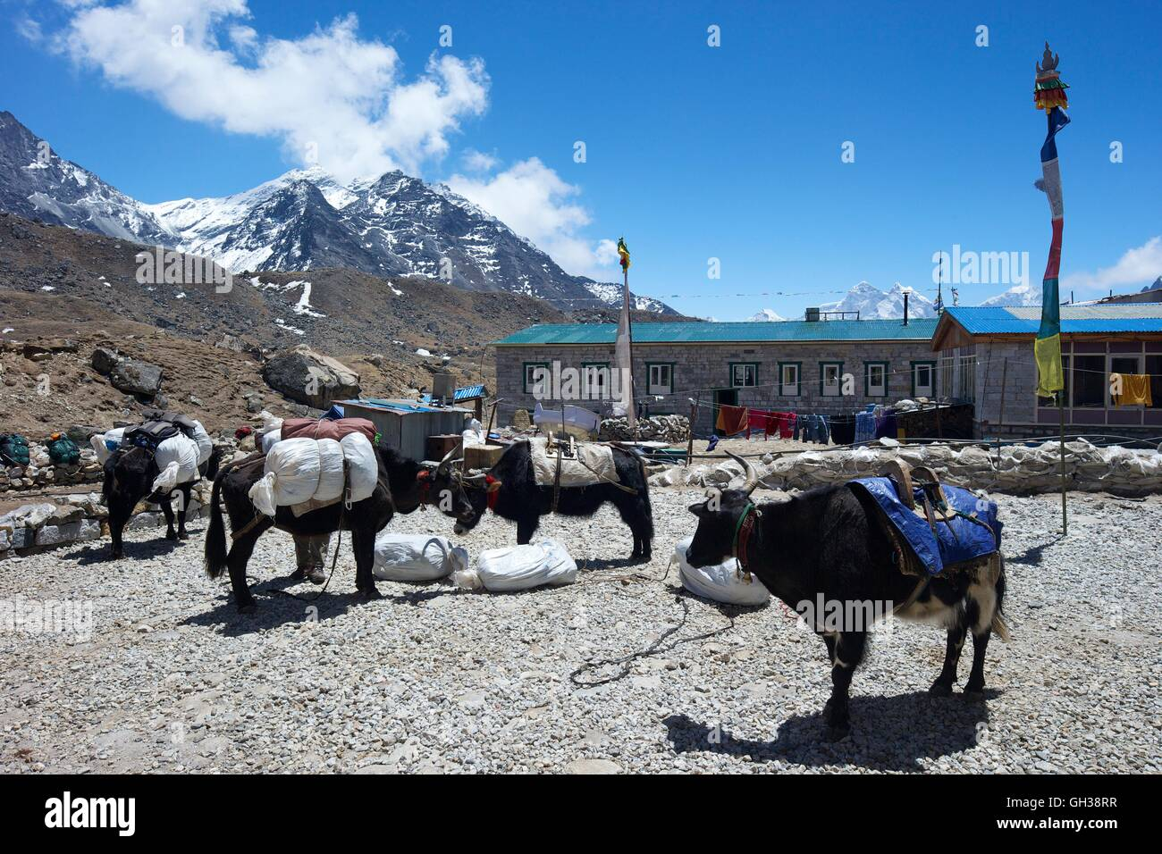 Yaks parked at Mother Earth House, Lobuche,  Khumbu valley, Sagarmatha National Park, Solukhumbu District, Nepal, - Stock Image