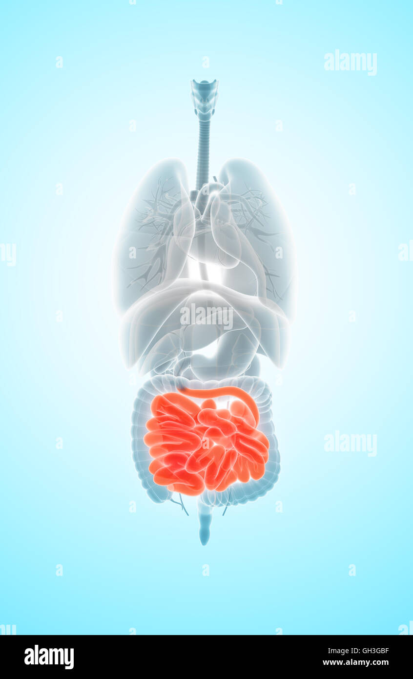 3d Illustration Of Small Intestine Part Of Digestive System Stock