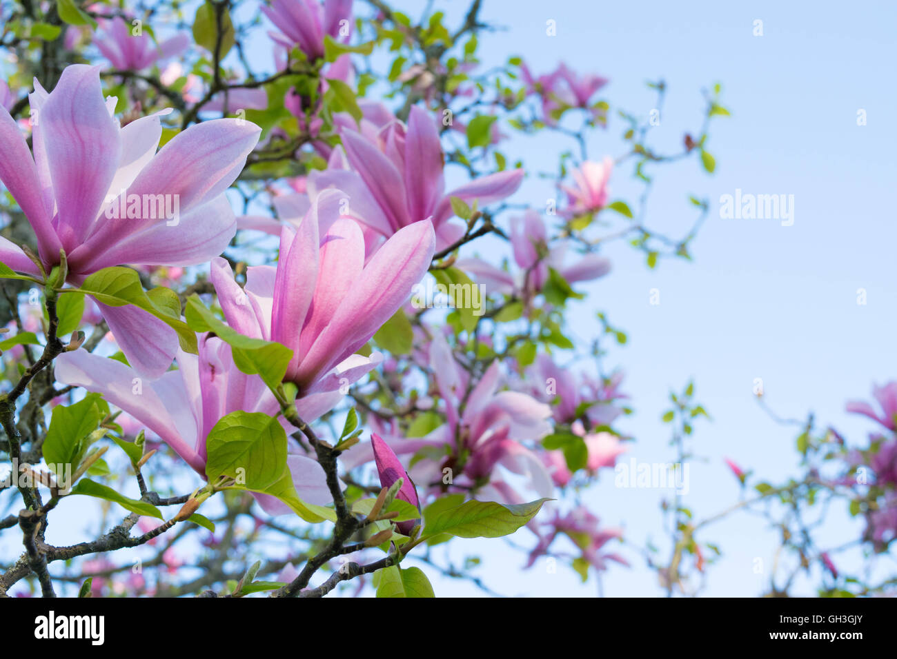 Blooming Magnolias Stock Photos & Blooming Magnolias Stock Images ...
