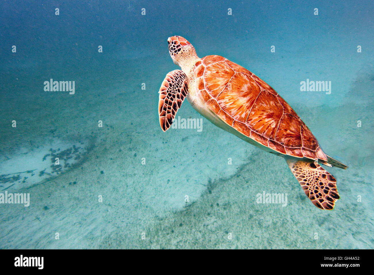 Close Up View of a Young Green Turtle Swimming Underwater, Buck Island National Wildlife Refuge, St Croix, US Virgin - Stock Image