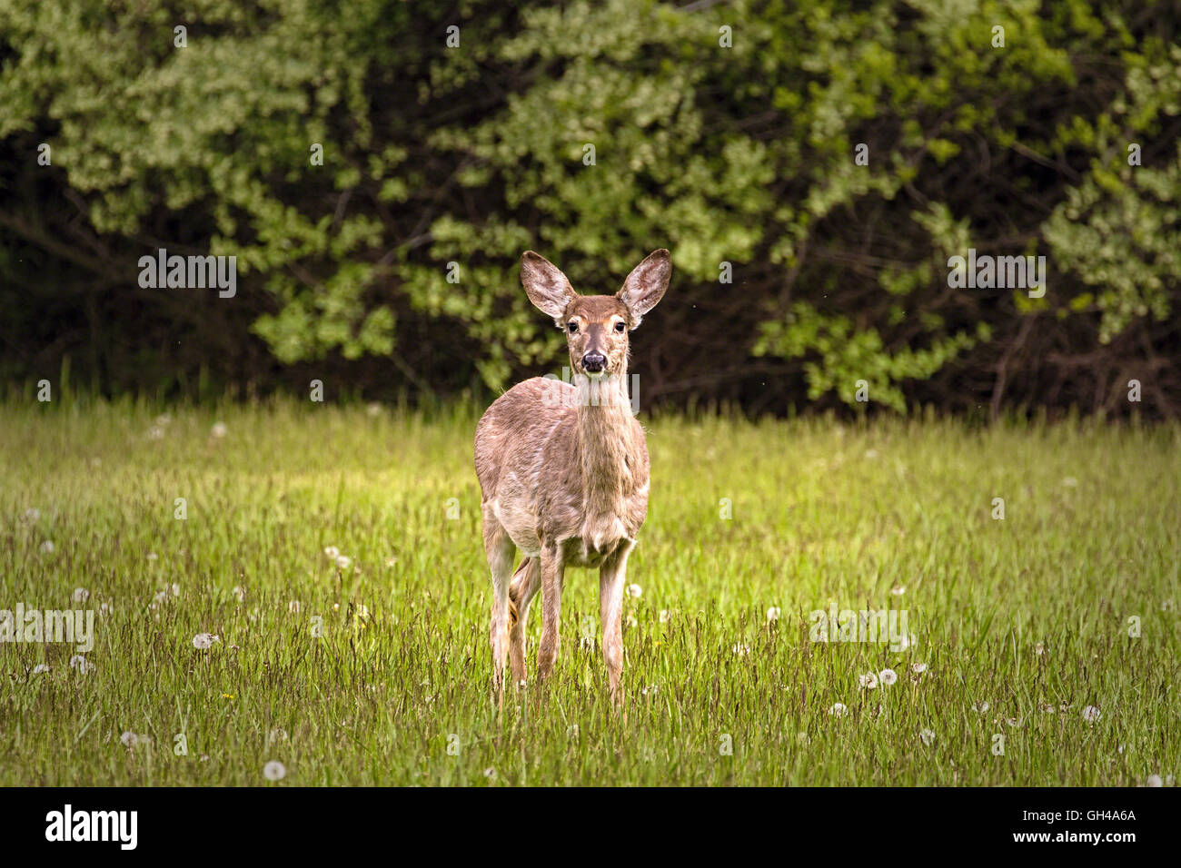 One White Tailed Deer Alert on the Spring Meadow, Hunterdon County, New Jersey - Stock Image
