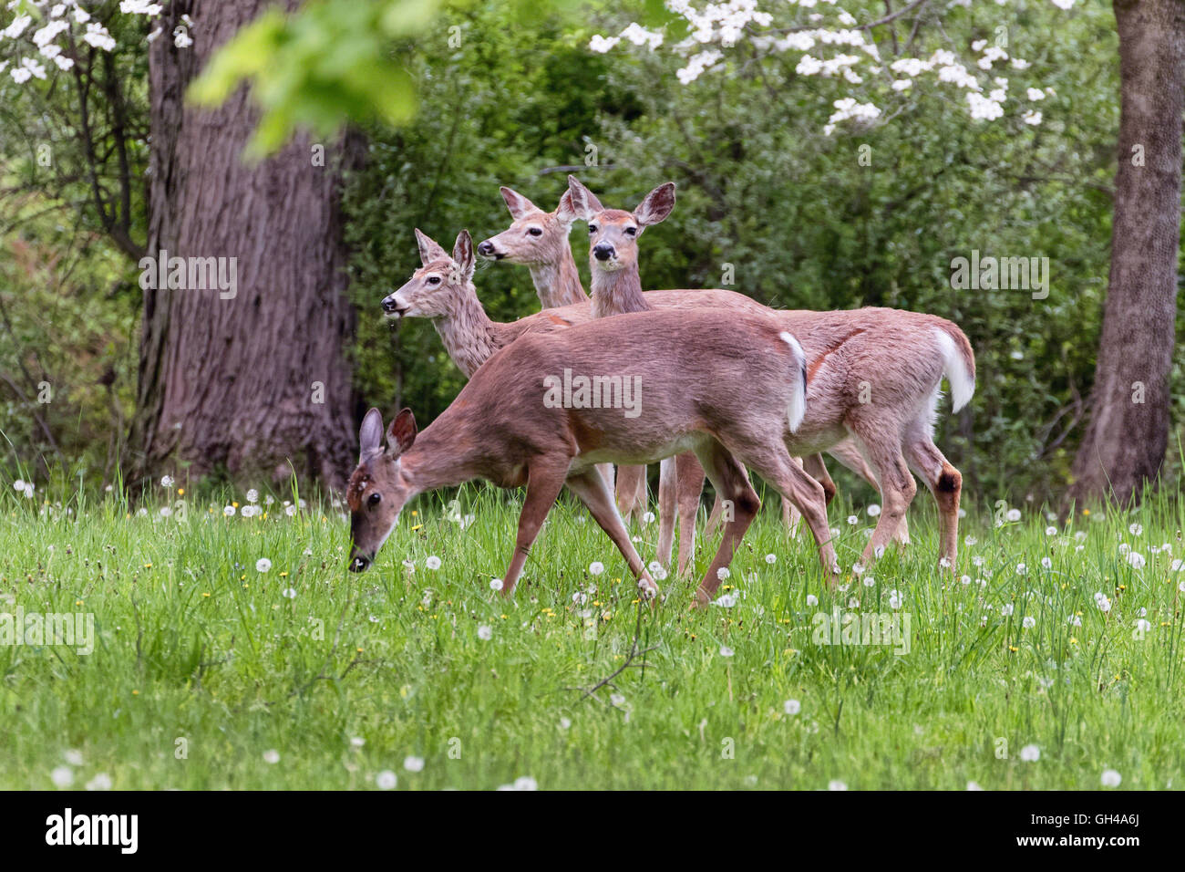 A Group of White Tailed Deer Grazing on the Spring Meadoiw, Hunterdon County, New Jersey Stock Photo