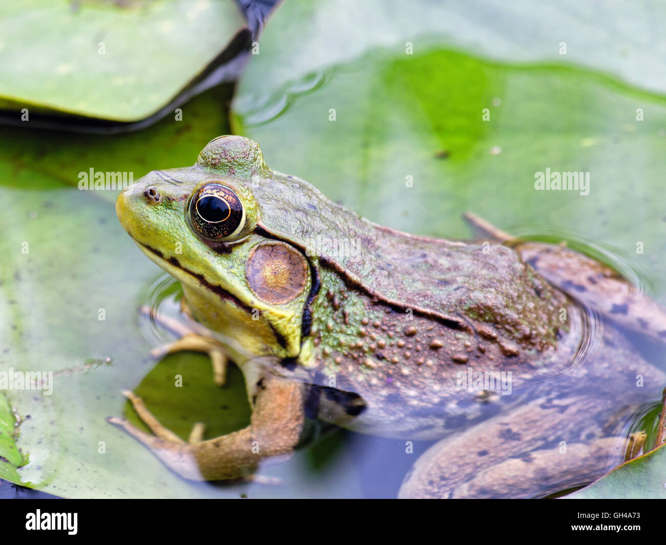 Close Up View of a Frog Sitting on Leaves in a Pond half Submerged - Stock Image