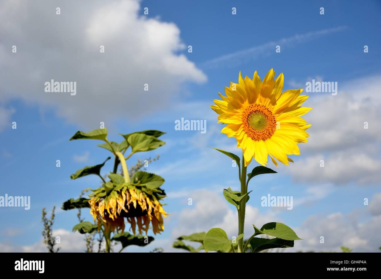 Sunflower Dead Stock Photos & Sunflower Dead Stock Images - Alamy