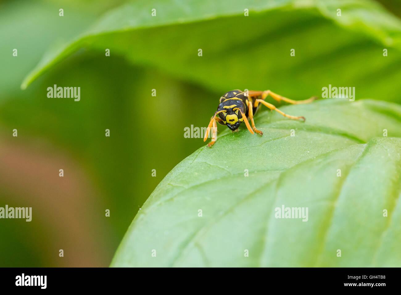 Wespe auf Blatt - Stock Image