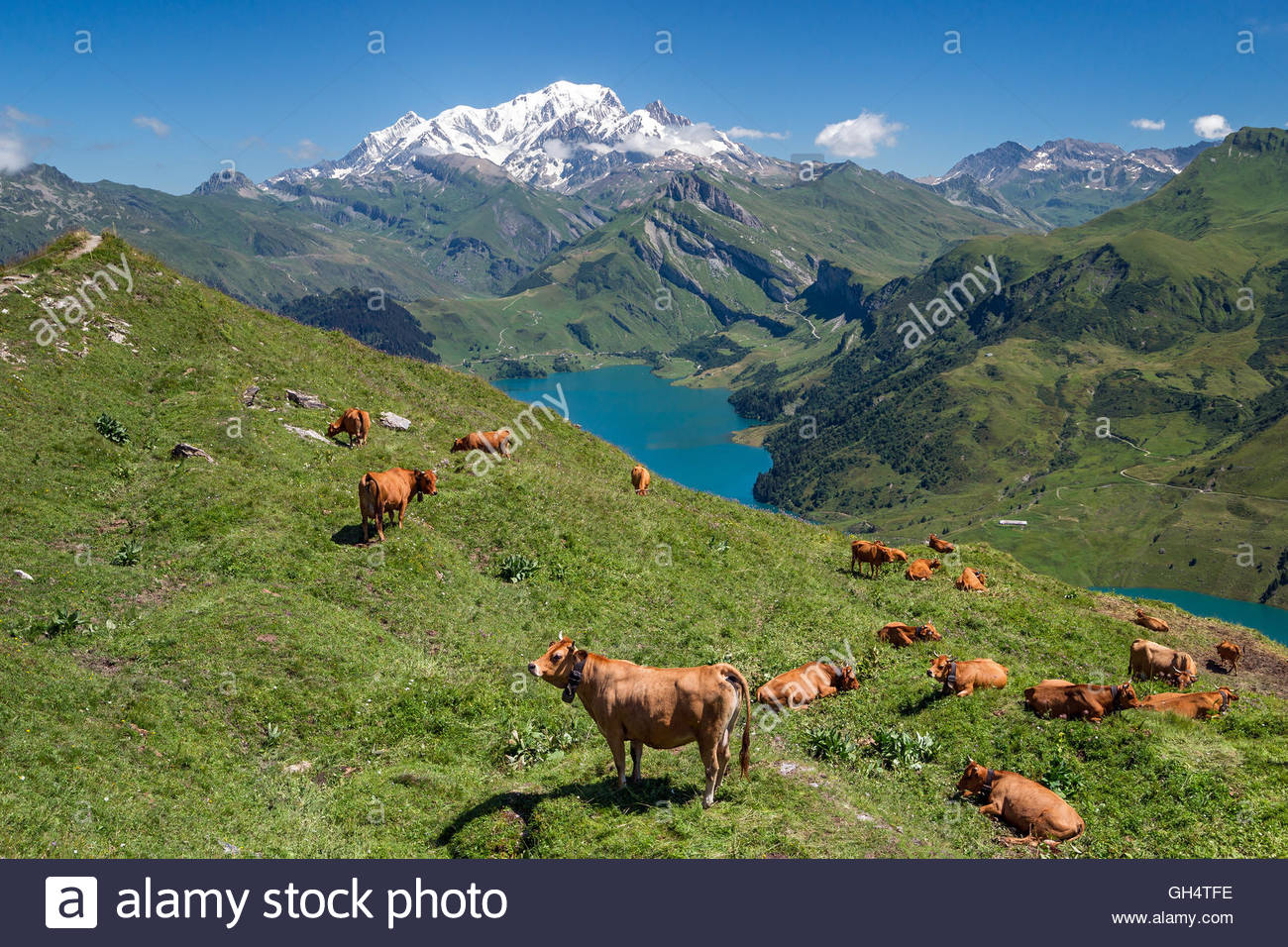 Tarine cows in front of Roselend lake and the Mont-Blanc mountain near Beaufort in Savoie (France) - Stock Image