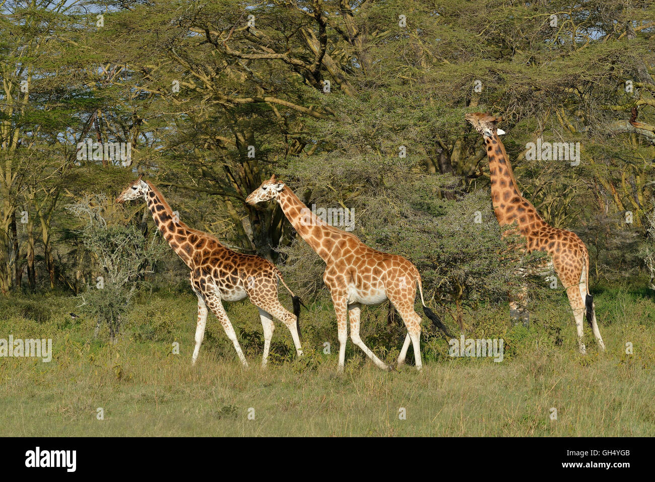 zoology / animals, mammal (mammalia), Rothschild's, Baringo- or Ugandan giraffes (Giraffa camelopardalis rothschildi), - Stock Image
