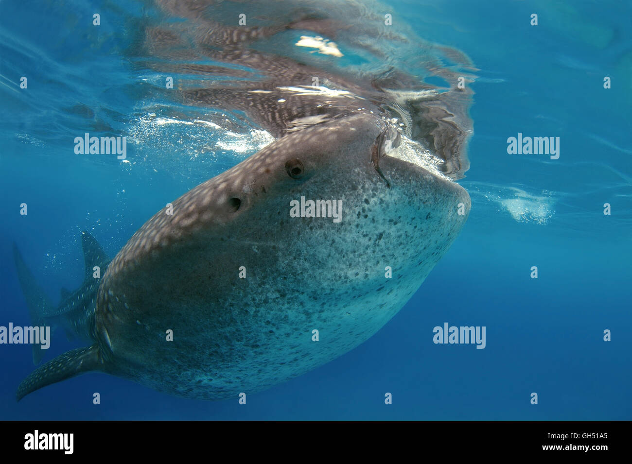 Whale shark or basking shark (Rhincodon typus) eats plankton, Indo-Pacific, Philippines, Southeast Asia - Stock Image