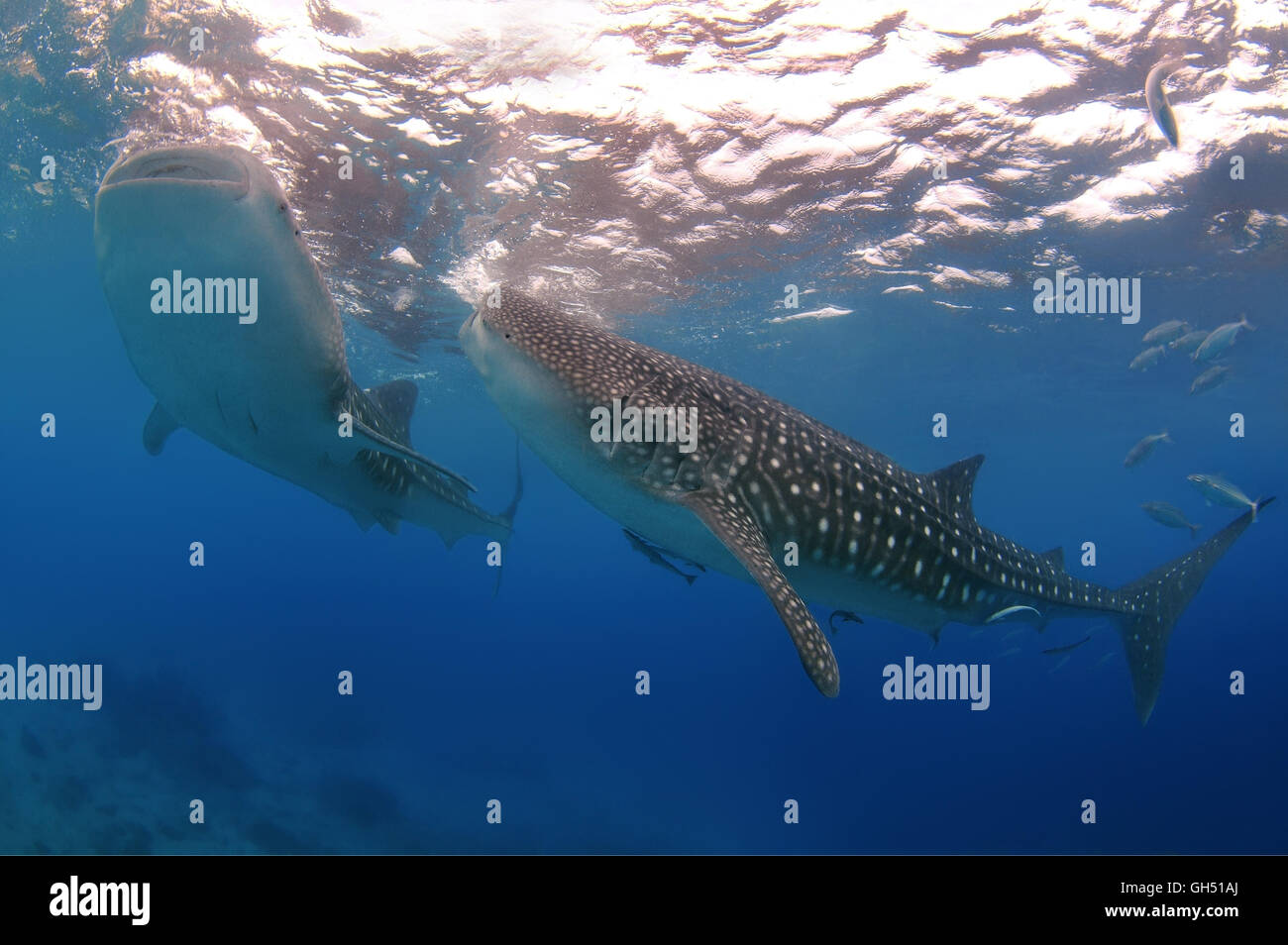 Two Whale shark or basking shark (Rhincodon typus) Indo-Pacific, Philippines, Southeast Asia - Stock Image