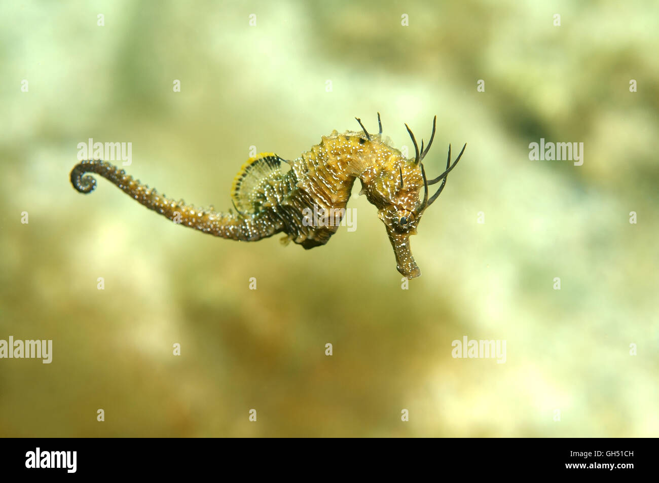 Maned Seahorse or Long-snouted seahorse (Hippocampus guttulatus) Black Sea Stock Photo